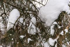Snowy winter forest. Snow hanging on the branches of trees in a winter forest Stock Photo