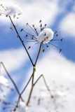 Snow-hat on a flower with seeds Stock Photo
