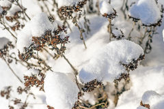 Snow-hat on sedum Stock Images
