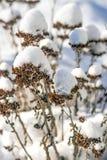 Snow-hat on sedum Stock Photos
