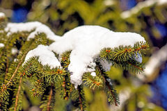 Snow-hat on a spruce Stock Image