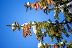 Snow-hat on a spruce Royalty Free Stock Photography