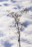 Snow-hat on wild carrot Stock Images