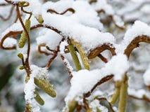 Snow on hazel bush detail. Detail of a common hazel bush snow-covered, starts to melt stock photography