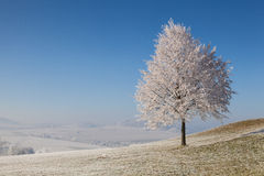 Snow and hearfrost covered trees in the frosty morning. Stock Images