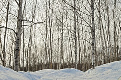 Japanese white birch in the snow. Snow covered Japanese white birch trees in a forest during winter at Niseko in Hokkaido, Japan Royalty Free Stock Photo
