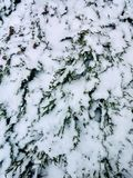 Snow in the Hedgerow. Evergreens and snow Stock Photos