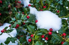 Snow on holly bush with berries Royalty Free Stock Images