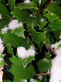 Snow on a holly bush royalty free stock image