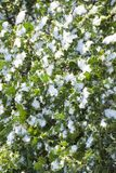 Snow covered holly Royalty Free Stock Photography