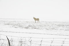 Snow Horse Royalty Free Stock Image