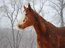 Snow Horse. American Paint Horse gelding in the snow Royalty Free Stock Image