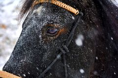 Beautiful horse named Pluto. Snow and horse, what could be more beautiful Stock Image
