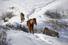 Snow Horses. 3 horses in the snow mountain, Nepal Royalty Free Stock Images