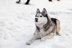 On snow huski is laying. Around white show huski is having a rest Royalty Free Stock Image