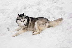 On snow huski is laying. Around white show huski is having a rest by laying Royalty Free Stock Photos