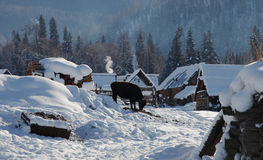 Snow huts with a calf Stock Images