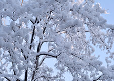 Snow and ice on branches Royalty Free Stock Photography