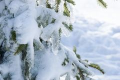 Snow and ice covered fir tree. In the forest stock photography