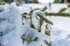 Snow and ice covered fir tree. In the forest stock image