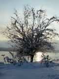 Snow and ice covered tree in the winter freezing day. River Danube environment, Futog Serbia.  stock photography