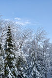 Snow and ice covered trees against blue sky Stock Photography
