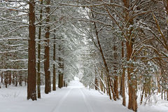 Snow and ice covered winter trees Royalty Free Stock Photo