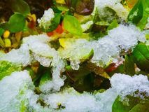 Snow and ice crystals on bush leaves. Winter background. Snow and ice crystals on bush leaves stock image