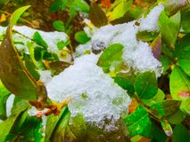 Snow and ice crystals on bush leaves. Winter background. Snow and ice crystals on bush leaves royalty free stock images