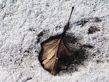 in the snow or ice frost picked up an oak leaf in the stock photography