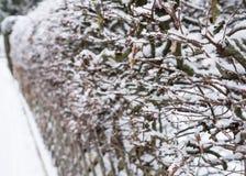 Snow and ice on a hornbeam hedge. Snow and ice on a hornbeam Carpinus betulus hedge Stock Image