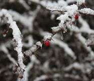 Snow and ice on a plant Stock Image