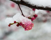 Snow and ice plum flower Royalty Free Stock Photo
