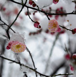 Snow and ice plum flower-Chinese ink and wash effe Royalty Free Stock Images