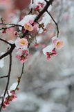 Snow and ice plum flower-The Oriental art  Royalty Free Stock Photos