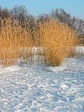 Reed plants near Curonian spit, Lithuania Stock Photos