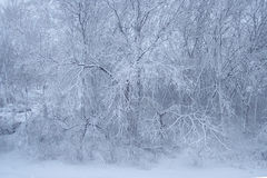 Blue Snow Ice Tree Wonderland. Snow and ice cover dozens of bare trees in winter blizzard Royalty Free Stock Photos
