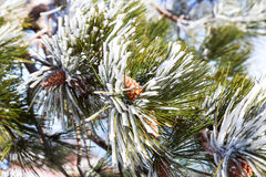 Snow and iced pine trees on sunny winter day. Frosted pinetree Stock Images