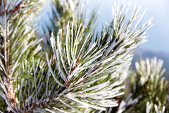 Snow and iced pine trees on sunny winter day. Frosted pinetree. Stock Photo