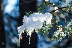 Snow and icicles on branch of Ponderosa Pine in Arizona Royalty Free Stock Photography