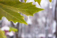 Snow and icing on the leaves in the city Park, winter landscape. Close-up stock photography