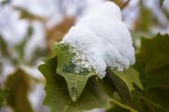 Snow and icing on the leaves in the city Park, winter landscape. Close-up stock image