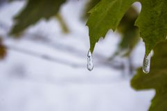 Snow and icing on the leaves in the city Park, winter landscape. Close-up royalty free stock photos