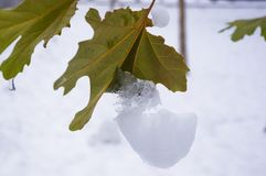 Snow and icing on the leaves in the city Park, winter landscape. Close-up royalty free stock images