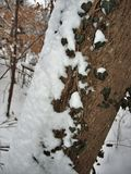 Snow and Ivy on Tree Trunk. Snow from a storm sticks to one side of a tree trunk covered with ivy Royalty Free Stock Photo