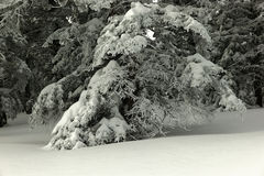 SNOW LADEN BRANCH. A snow laden branch on the Sandia Crest New Mexico Royalty Free Stock Photos