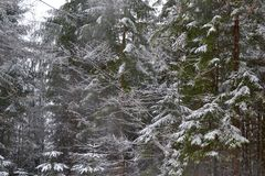 Snow Laden Branches. Evergreen trees laden with snow in the Bavarian Countryside of Germany Royalty Free Stock Image