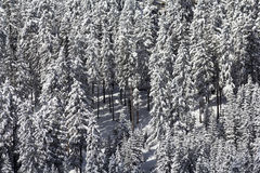 Snow laden conifers. Close up of a stand of conifer trees heavily laden with snow Stock Photography