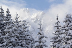 Snow laden conifers. Close up of a stand of conifer trees heavily laden with snow with mountain top in background Royalty Free Stock Photography