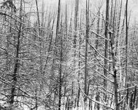 Snow laden dead cedar trees in a swamp. Wintertime in this Ontario swamp. This black and white image is geometrical and stark Stock Photos